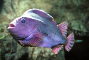 lump_fish